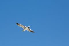 seagull błękitny latający niebo Obraz Stock
