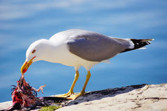 Seagull b. Seagull eating in an asturia port Stock Image