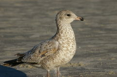 Seagull baby Royalty Free Stock Photography