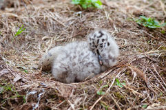 Seagull baby and egg in the nest Stock Photos
