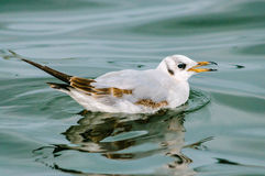 Seagull baby Royalty Free Stock Photo