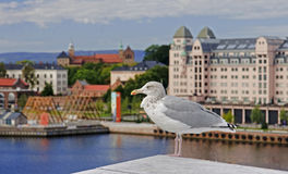 Seagull on the background Akershus Fortress in Oslo stock photography
