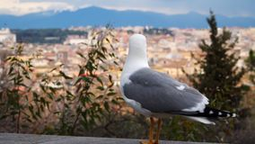 Seagull on the background of buildings in Rome.  stock footage