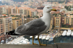 Seagull on a background of luxury Monaco Royalty Free Stock Photo