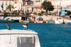 Seagull on the background of the royal canal in Sete, Languedoc Roussillon, France. Copy space for text. Seagull on the background of the royal canal in Sete Royalty Free Stock Image