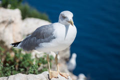 Seagull on a background of the sea Stock Photos