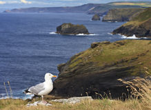 Seagull with the background of Tintagel coast, Cornwall, United Kingdom Royalty Free Stock Photos