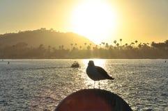 Seagull in backlight at sunset, Santa Barbara, California Stock Photos