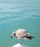 Seagull balancing on one leg. Taken at Littlehampton marina, England Stock Photo