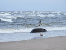 Seagull on Baltic sea coast, Lithuania Royalty Free Stock Image