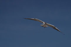Seagull at the baltic sea Royalty Free Stock Photography