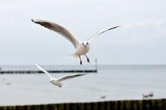Seagull. At the Baltic Sea in Kolobrzeg, Poland royalty free stock photo