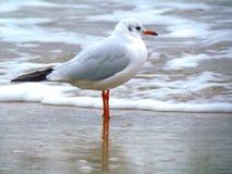 Seagull - baltic sea. stock image