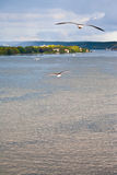 Seagull on Baltic sea shore near Stockholm Royalty Free Stock Images
