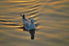 Seagull. At Bangphu viewpoint samutprakarnThailand stock photo