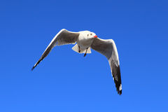 Seagull. At Bangpo, Samuthprakarn Thailand royalty free stock photo