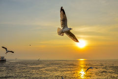 Seagull bangpoo. Seagulls fly over the Sun Royalty Free Stock Photo