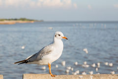 Seagull at Bangpu Royalty Free Stock Photos