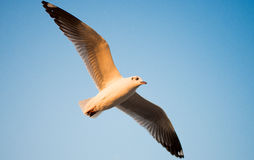 Seagull in BangPu, Thailand. They fly so far away from Northern Asia to Southern Asia Stock Photography