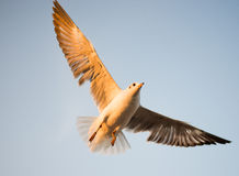 Seagull in BangPu, Thailand. They fly so far away from Northern Asia to Southern Asia Stock Image