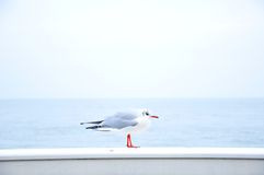 Seagull on banister  Stock Photography