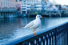 Seagull on the bank of the Limmat River, in Zurich Stock Images
