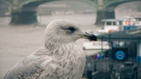 Seagull on the bank of the River Thames. London. England. United Kingdom. Birds in urban areas and rivers stock footage