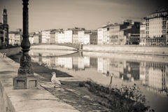 Seagull on banks of Arno river - toned image Stock Images