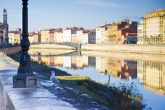 Seagull on banks of river Arno - Pisa (Tuscany - Italy) Royalty Free Stock Image