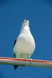 Seagull on a bar Royalty Free Stock Photography
