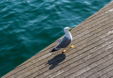 Seagull in Barcelona Royalty Free Stock Photography