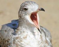 Seagull bardzo głośny z swój belfrem szeroko otwarty skrzeczący obrazy stock