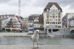 Seagull in Basel. Close-up of a seagull beside the Rhein in Basel Stock Image