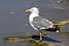 Seagull Basking at the Beach Royalty Free Stock Images