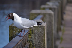 Seagull. Basking in the spring sunshine Royalty Free Stock Photos