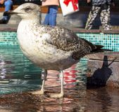 The seagull basks in the fountain. A close-up photo of a seagull among people in the park stock photo