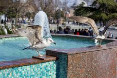 The seagull basks in the fountain. A close-up photo of a seagull among people in the park stock photography