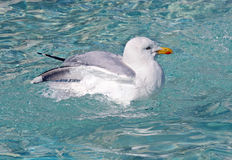 Seagull Bath Stock Images