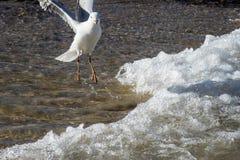 Seagull bawić się w kipieli Obraz Stock