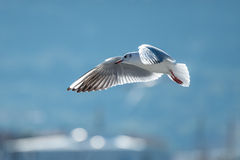 Seagull in the bay. Seagull flying in the bay in the blue sky Royalty Free Stock Photos
