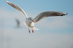 Seagull in the bay. Seagull is flying in the cloudy sky with another bird out of focus Stock Photos