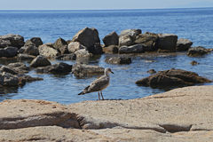 Seagull in the Bay - Giglio Island royalty free stock photo
