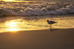 Seagull Bay Morning royalty free stock images