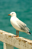 Seagull at the beach. A seagull at the beach standing on a pier Stock Image