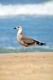Seagull on beach Stock Photography