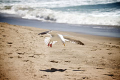 Seagull-Beach. A Seagull lands on a beach Royalty Free Stock Images
