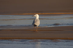 Seagull on the beach. A single seagull standing on the beach stock photos