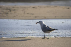 Seagull at beach Stock Photo