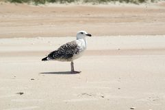 Seagull on the Beach. A large brown seagull stands on the beach at Cape Lookout, North Carolina Royalty Free Stock Images