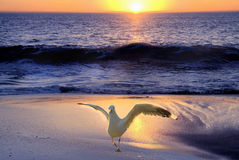 Seagull at the beach. Seagull on a sunset beach Stock Photos